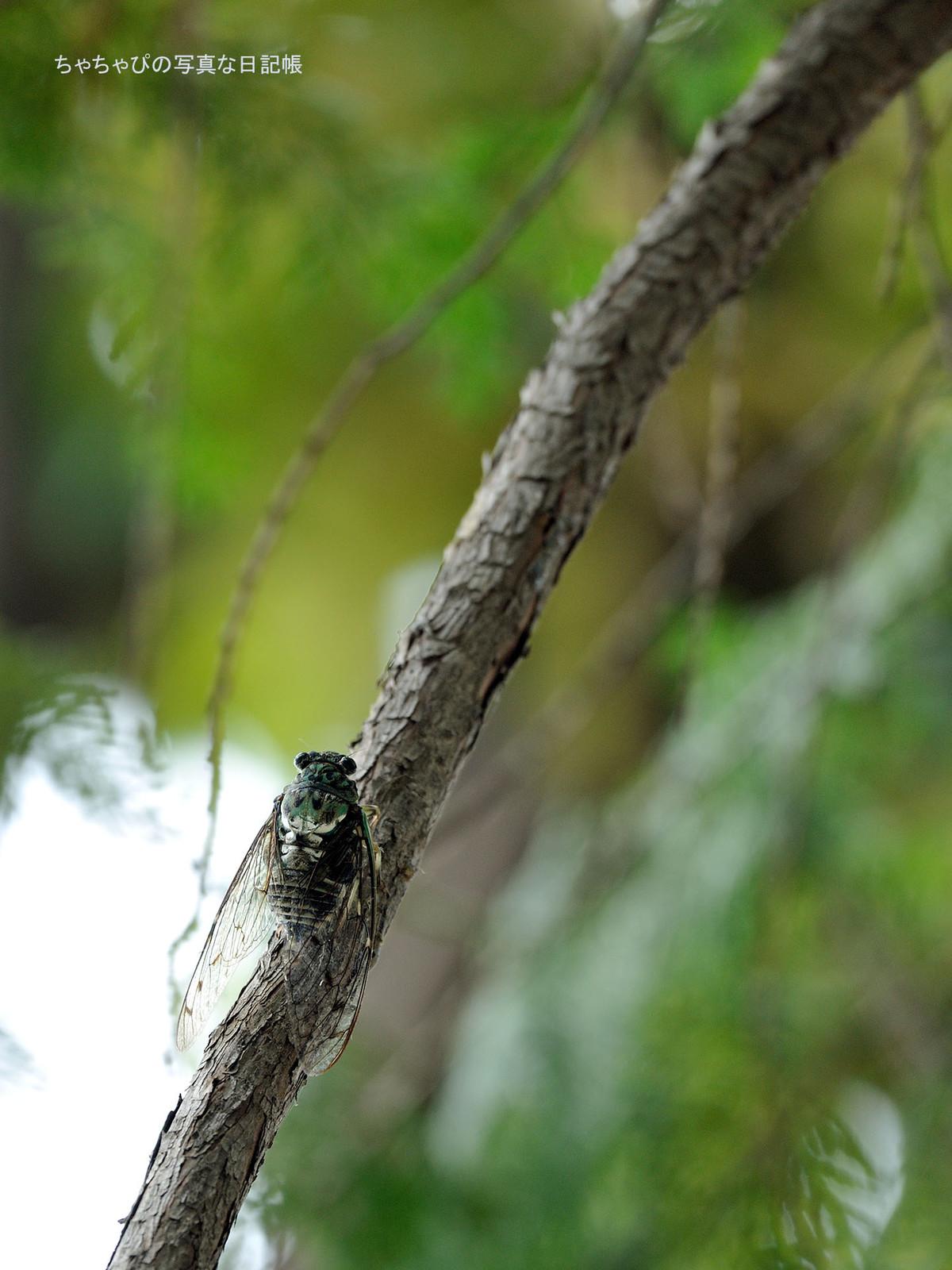 01_cicada