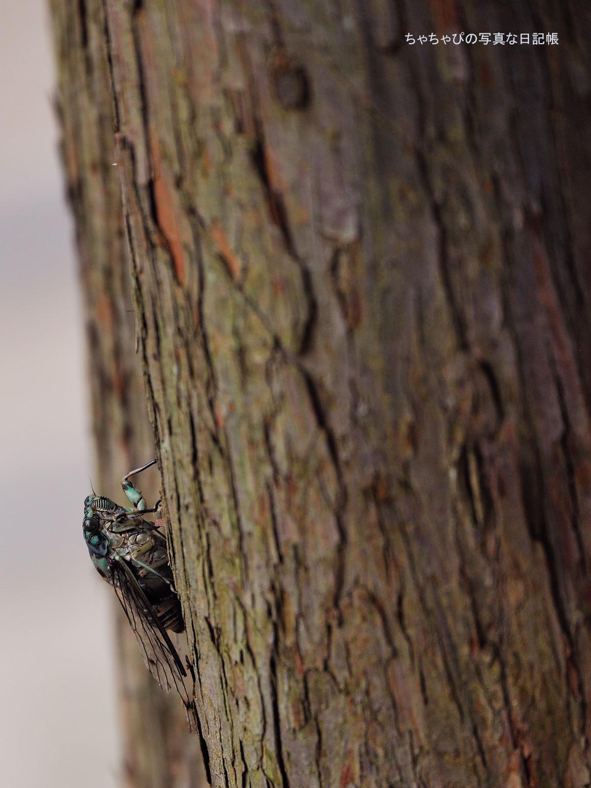 02_cicada
